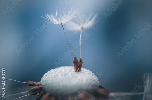 Poster Pissenlit dandelion seeds drop macro
