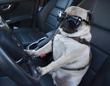 Pug Driving