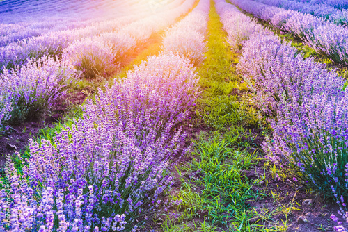 Photo  Blooming lavender field under the soft light of the summer sunset