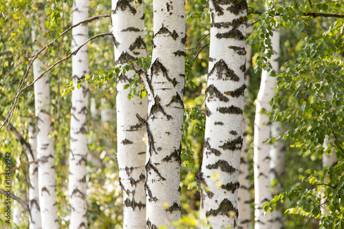 Fotografía white trunks of a birch on the nature