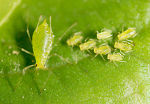 Small Aphid On A Green Leaf In...