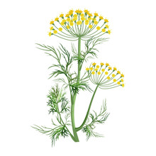 Dill Herb With Small Yellow Bl...