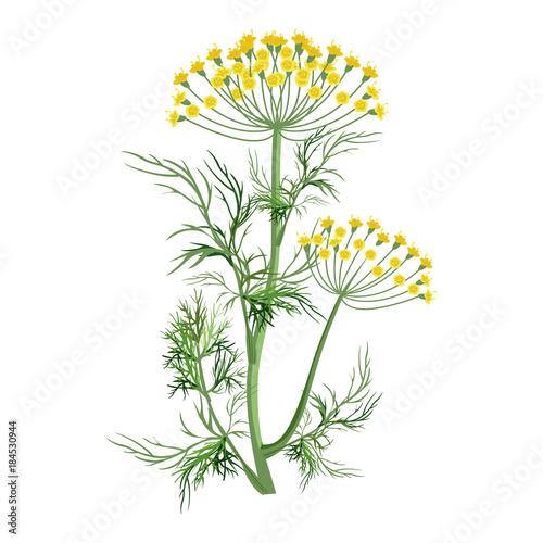 Fotografie, Tablou Dill herb with small yellow bloom and green stem