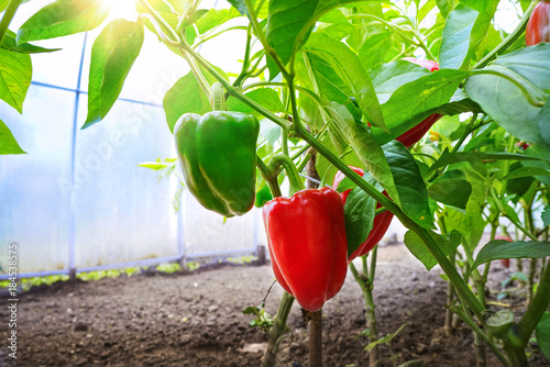 Papel de parede Growing sweet peppers in a greenhouse close-up in sunlight