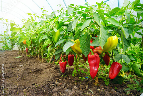 Growing sweet peppers in a greenhouse, photo with perspective. Fresh juicy red green and yellow peppers on the branches close-up. Agriculture - large crop of pepper.