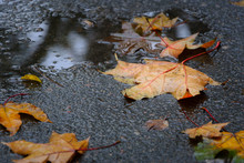 Fallen Maple Tree Leaves On We...