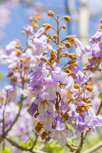 Beautiful Paulownia blooming flowers with copy space. Paulownia tree branch with flowers.
