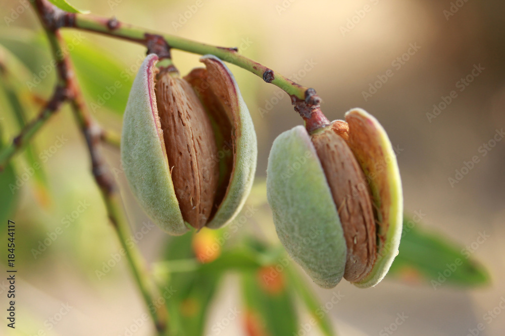 Almonds on a tree