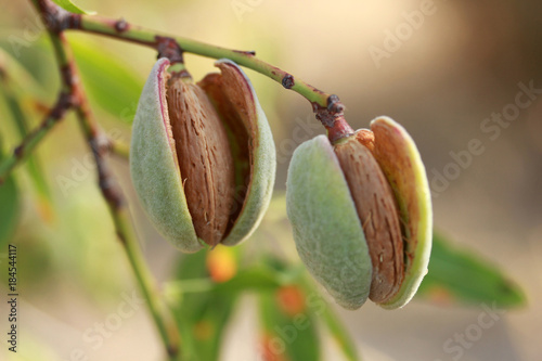 Fotografiet Almonds on a tree