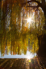 A Weeping Willow Tree Near A L...