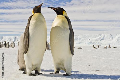 Stampa su Tela A couple of Emperor penguins(aptenodytes forsteri)colony on the ice of Davis sea