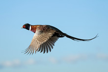 Rooster - Flight - Pheasant