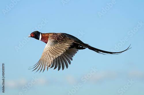 Obraz na plátně Rooster - Flight - Pheasant