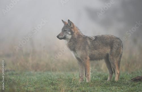 wolf canis lupus kaufen sie dieses foto und finden sie hnliche bilder auf adobe stock. Black Bedroom Furniture Sets. Home Design Ideas