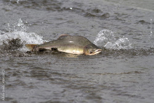 male pink salmon floating on the shallow mouth of the river before entering the Obraz na płótnie