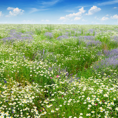 FototapetaPicturesque field covered with grass, lavender, daisies