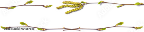 banner of a birch branch with blossoming buds