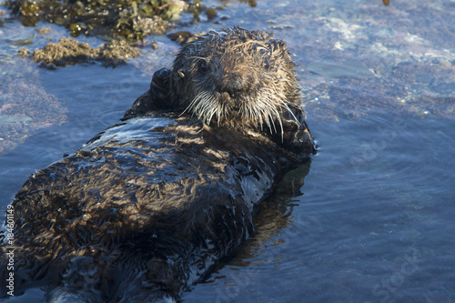 sea otter lying on its back in a small puddle at low tide on a winter day Canvas Print