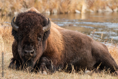 La pose en embrasure Bison Bull bison near the Firehole River in Yellowstone National Park