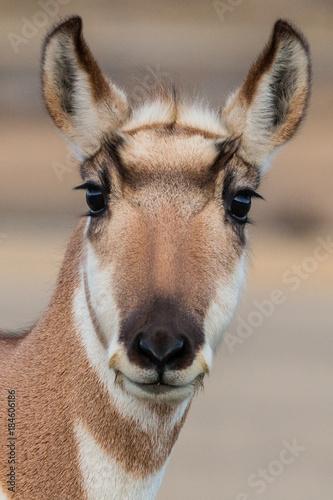 Fotografía  Pronghorn antelope in Montana