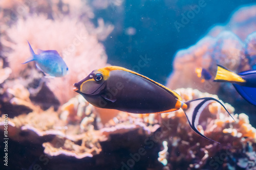 Fotografie, Obraz  Barcheek Unicornfish Or Clown Tang Or Masked Unicornfish Fish Naso