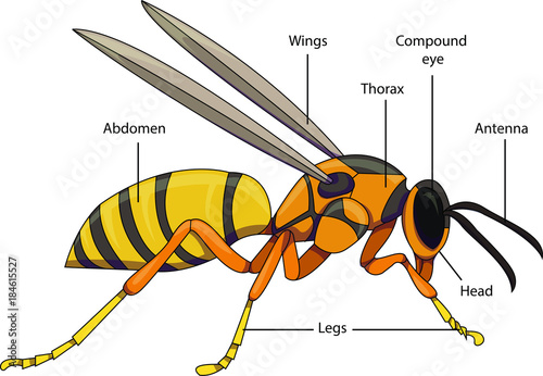 Vector Illustration Of An Insect  Diagram With Labeled