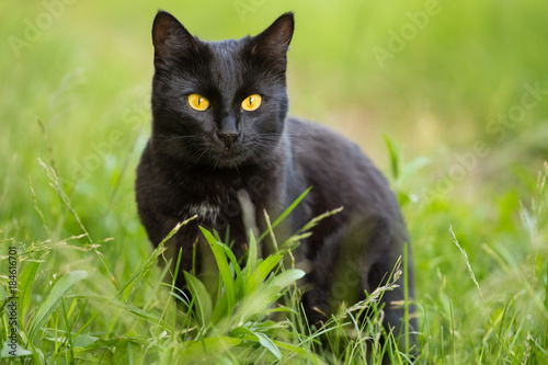 Beautiful bombay black cat portrait with yellow eyes and attentive look in green Canvas Print
