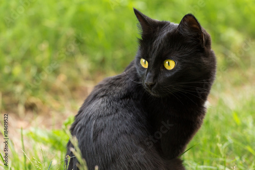 Beautiful bombay black cat portrait with yellow eyes and attentive look in green Wallpaper Mural