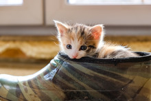 Little Kitten In The Shoe