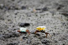 Two Fiddler Or Calling Crabs R...
