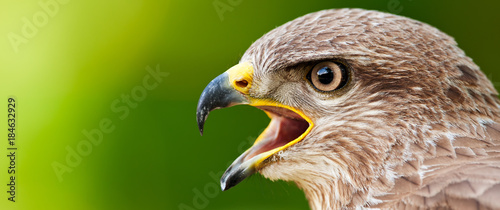 Photo Banner format photo of a Common Buzzard (Buteo buteo)