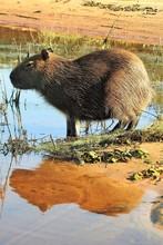 Reflections Of A Sunbathing Capybara, Pantanal