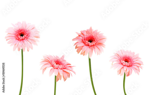 Keuken foto achterwand Gerbera four pink Gerber flowers isolated on white