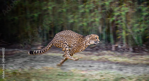 Photo running cheetah