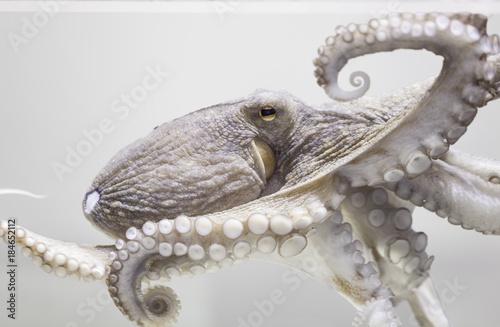 Common octopus in aquarium Fototapeta