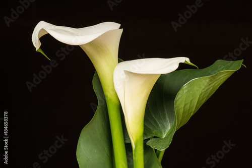 Arum lilly Wallpaper Mural