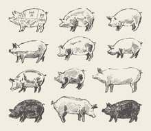 Drawn Vector Pigs Mangalica Po...