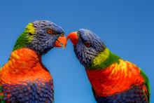 A Pair Rainbow Lorikeets
