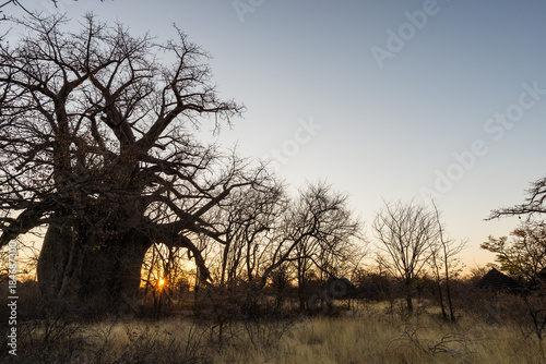 Huge Baobab plant in the african savannah with clear blue sky at sunrise. Botswana, one of the most attractive travel destionation in Africa.