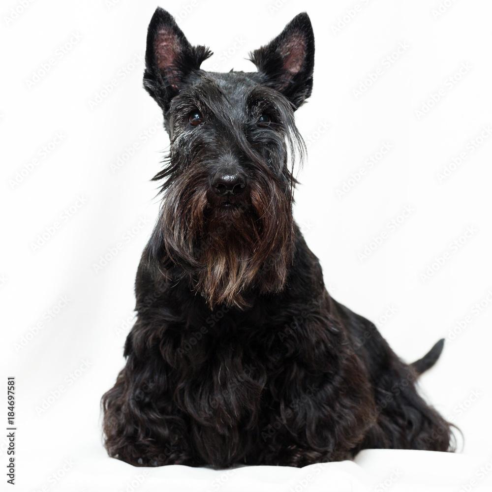 Fototapeta Black Scottish Terrier dog
