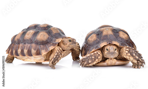 Photo sur Toile Tortue Turtle isolated on white