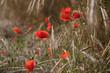 Цветение красных маков в ржаном поле.