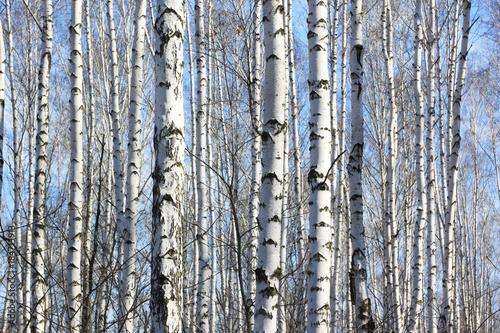 Fototapety, obrazy: Trunks of birch trees in forest / birches in sunlight in spring / birch trees in bright sunshine / birch trees with white bark / beautiful landscape with white birches