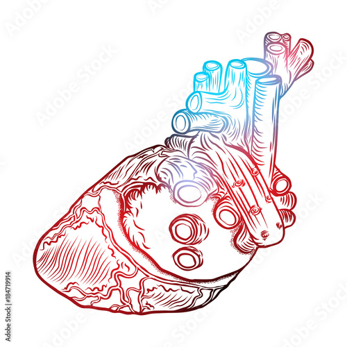 Sketched Hand Drawn Line Art Decorative Human Heart In Anatomy