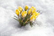 Crocuses Of Yellow Flowers Against The Background Of Snow On A Spring Sunny Day. Primroses Bloomed After Winter.