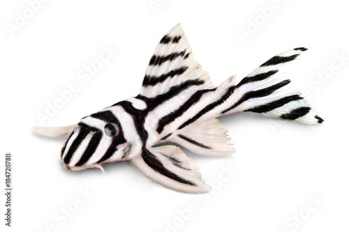 Aluminium Prints Zebra Zebra Pleco L-046 Hypancistrus zebra Plecostomus aquarium fish