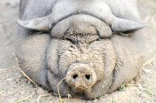 The Fattened Fat Pig Of The Vi...