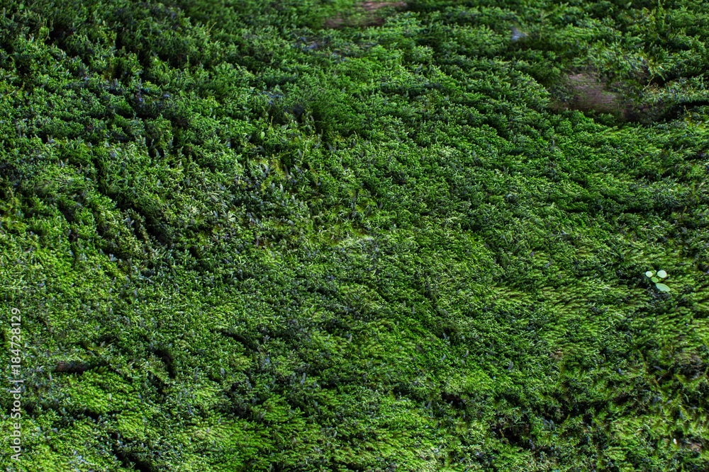 Fototapety, obrazy: Moss texture. Moss background. Green moss on grunge texture, background