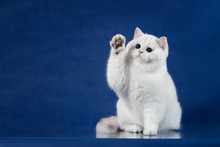 British White Shorthair Playfu...