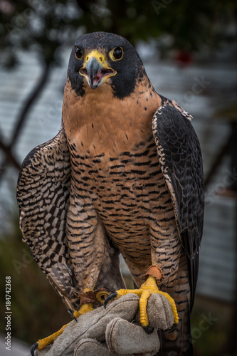 Photo  A rescued peregrine falcon rests on a suede glove